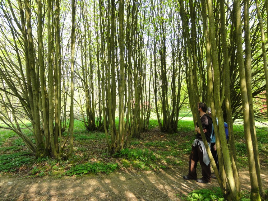 Lime Coppice at Westernbirt Arboretum which is a staggering 2000 years old!